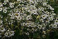 Sea Mayweed (Tripleurospermum maritimum), Uyeasound - geograph.org.uk - 529171.jpg