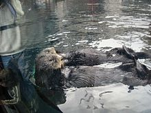 Two sea otters rest on their back in front of an aquarium window