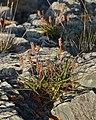 Sea Plantain (Plantago maritima) - Bay Roberts, Newfoundland 2019-08-12.jpg