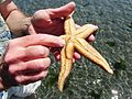 Sea Star with Commensal worm - Flickr - brewbooks.jpg