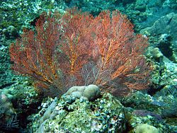 Sea fan Mospella.jpg