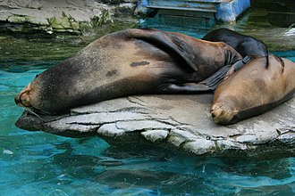 Ueno Zoo - California sea lions sleeping