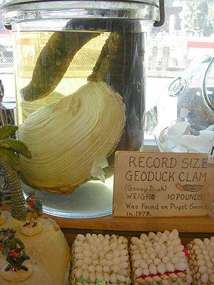 Geoduck - An ostensibly record-setting geoduck, Ye Olde Curiosity Shop, Seattle, Washington.