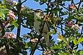 Sedge warbler (Acrocephalus schoenobaenus).jpg