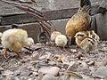Segunda nidada de pollos 07.JPG