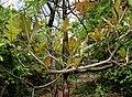 Semi-looper from Noctuidae family on Terminalia bellerica W IMG 9218.jpg