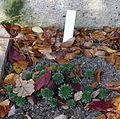 Sempervivum macedonicum - Botanischer Garten Braunschweig - Braunschweig, Germany - DSC04367.JPG