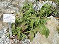 Senecio polyodon var. subglaber - Palmengarten Frankfurt - DSC01981.JPG