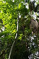 Serres-Jardin-Plantes-Paris 11 Ceiba-pentandra.JPG