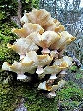 Setas en el Hayedo de La Biescona, Sierra del Sueve, Colunga (Asturias).JPG