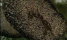 Datei: Schimmernde Bienen vertreiben Hornisse.ogv