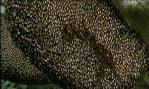 File:Shimmering bees drive hornet away.ogv