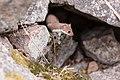 Short-tailed weasel in a rock pile (29851796297).jpg