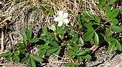 Sibbaldiopsis tridentata2.jpg