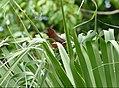 Silver-beaked Tanager (Ramphocelus carbo) female in the garden (38100125375).jpg