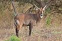 Sing-sing waterbuck (Kobus ellipsiprymnus unctuosus).jpg