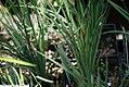 Sisyrinchium angustifolium Lucerne 3zz.jpg