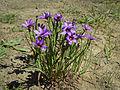 Sisyrinchium bellum (4350730696).jpg