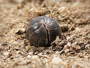 Armadillidium vulgare in the rolled-up defensi...