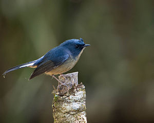 Slaty-blue flycatcher - Male
