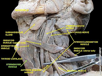 Sternohyoid muscle - Image: Slide 5c