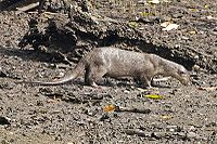 Smooth-coated Otter (Lutrogale perspicillata).jpg