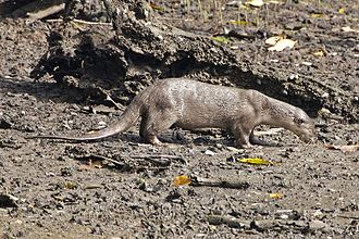 Smooth-coated otter - Smooth-coated otter in Nagarhole National Park