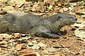 Smooth cotted otter (2).jpg