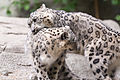 Snow Leopards Playing (22396353492).jpg