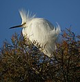 Snowy Egret (4631771672).jpg