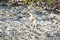 Snowy Plover chick, Florida (123562829).jpg