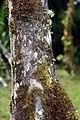 Socratea exorrhiza 19zz.jpg