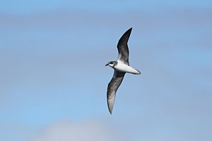 Soft-plumaged petrel - Ventral plumage.