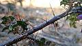 Solanum prinophyllum branch (14792966297).jpg