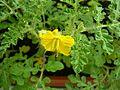 Solanum rostratum inflorescence.JPG