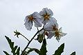 Solanum sisymbriifolium. Locatie De Kruidhof 01.JPG