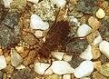 Somatochlora sahlbergi nymph.jpg