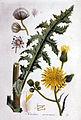 Sonchus arvensis — Flora Batava — Volume v1.jpg