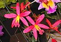 Sophrolaeliocattleya Golden Treat 'Cinnamon' -香港沙田洋蘭展 Shatin Orchid Show, Hong Kong- (9204821105).jpg