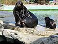 South American sea lions at Vienna Zoo (6363289773).jpg