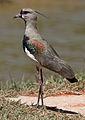 Southern Lapwing (Vanellus chilensis) (9610083658).jpg