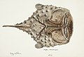 Southern Pacific fishes illustrations by F.E. Clarke 83.jpg