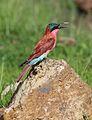 Southern carmine bee-eater, Merops nubicoides, Chobe National Park, Botswana (32309779252).jpg
