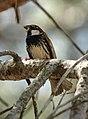Spanish Sparrow (514950881).jpg