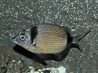 Diplodus vulgaris - Image: Sparidae Diplodus vulgaris