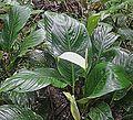 Spathiphyllum cannifolium - Flickr - Dick Culbert.jpg