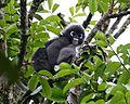 Spectacled Langur (Presbytis obscura) - Flickr - Lip Kee (2).jpg
