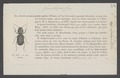 Sphaerostylus - Print - Iconographia Zoologica - Special Collections University of Amsterdam - UBAINV0274 010 12 0003.tif