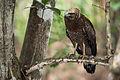 Spilornis cheela, Crested serpent eagle - Huai Kha Khaeng (19861185213).jpg
