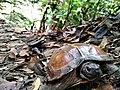 Spiny turtle - June 2020.jpg